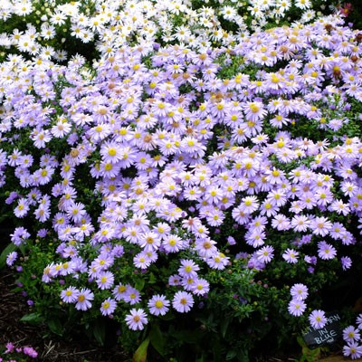 Aster novi-belgii 'Little Man in Blue' (Symphyotrichum novi-belgii 'Little Man in Blue')