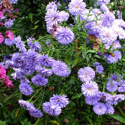 Aster novi-belgii 'Marie Ballard' (Symphyotrichum novi-belgii 'Marie Ballard')