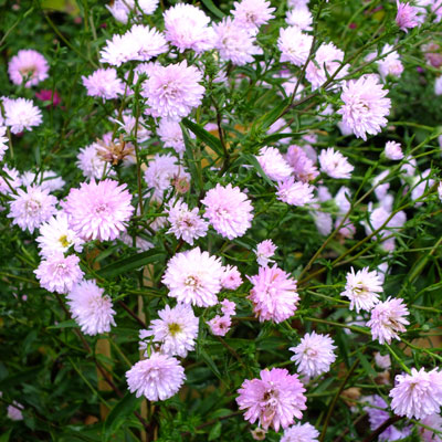 Aster novi-belgii 'Priory Blush' (Symphyotrichum novi-belgii 'Priory Blush')