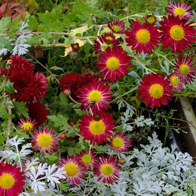 Chrysanthemum 'Cousin Joan' - Korean : single