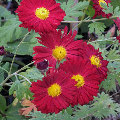 Chrysanthemum 'Duchess of Edinburgh' - Korean : single