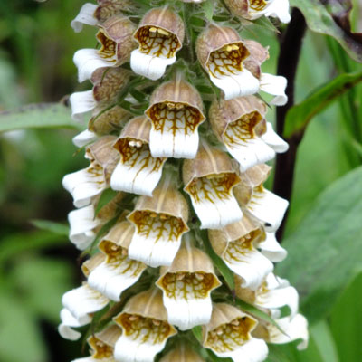 Digitalis lanata – (Cafe Creme) – Woolly Foxglove