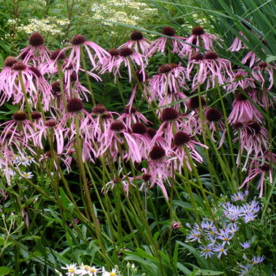 Echinacea pallida 'Hula Dancer'