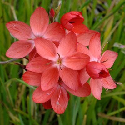 Hesperantha coccinea 'Salome' (Schizostylis)