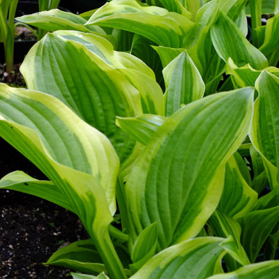 Hosta 'Iron Gate Glamour'