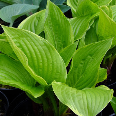 Hosta 'Sea Dream'