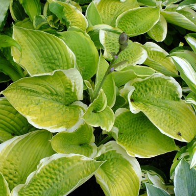 Hosta 'Sunshine Glory'