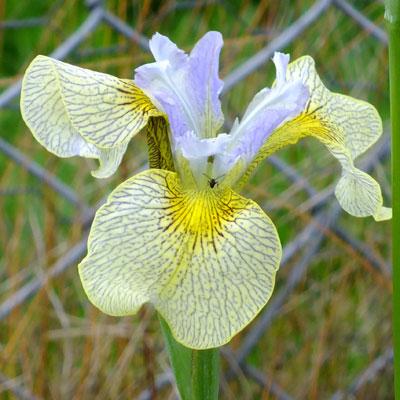Iris 'Ally Oops' (species cross)