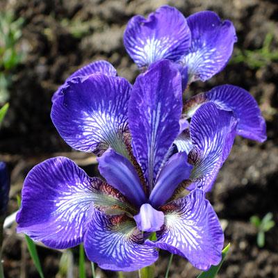 Iris 'Kita-No-Seiza' (sibirica)