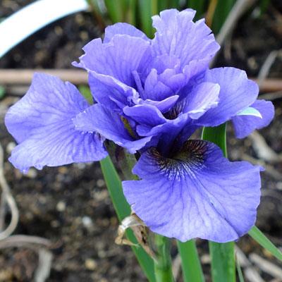 Iris 'Rambunctious' (sibirica)