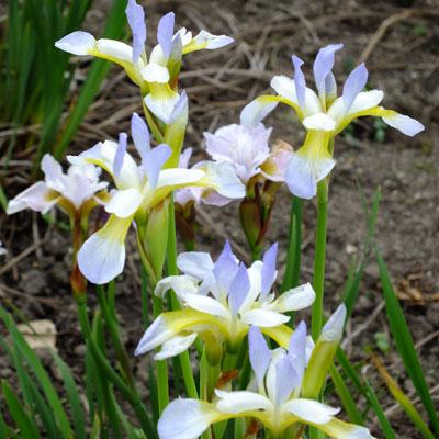 Iris 'Summer Sky' (sibirica)