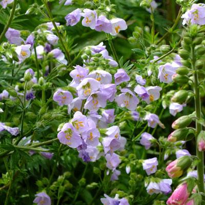 Polemonium 'Glebe Cottage Lilac'