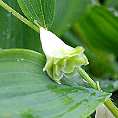 Polygonatum odoratum 'Flore-Pleno'