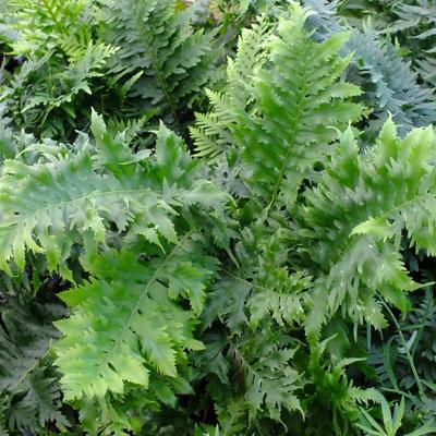 Polypodium cambricum 'Prestonii'