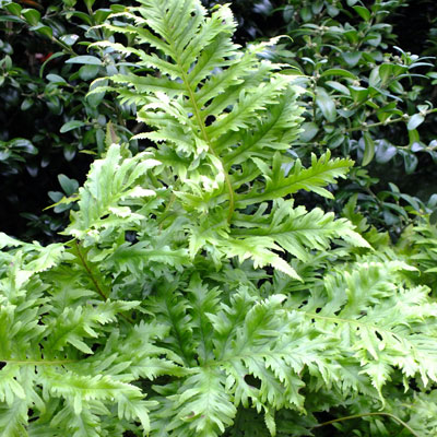 Polypodium cambricum 'Whilharris'