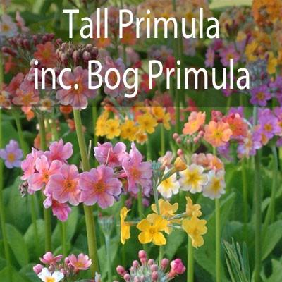 Taller Primula inc. bog Primula