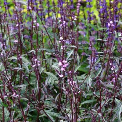 Verbena officinalis var. grandiflora 'Bampton'