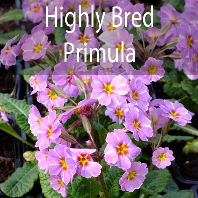 Highly Bred Primroses