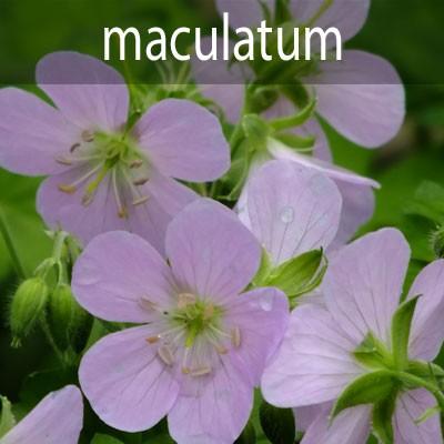 G.maculatum