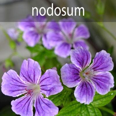 G.nodosum