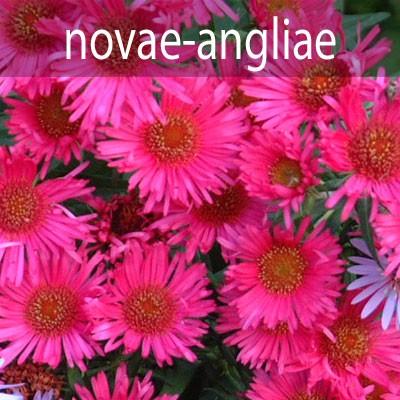 A. novae-angliae (Michaelmas Daisies)