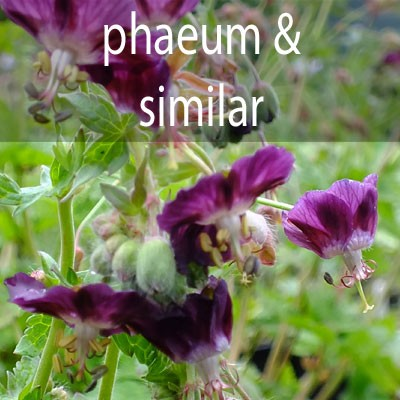 G.phaeum and similar