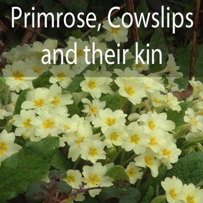 Primroses, Cowslips and their kin