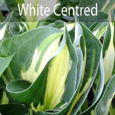 White Centred
