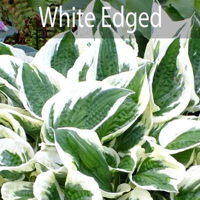White Edged
