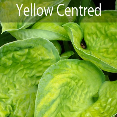 Yellow Centred