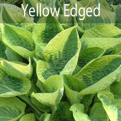 Yellow Edged