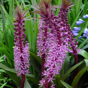 Eucomis Red Select