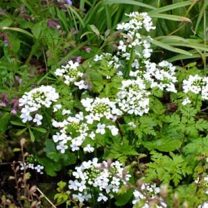 Pachyphragma macrophyllum (Cardamine asarifolia)