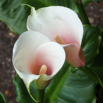 Zantedeschia 'Kiwi Blush'