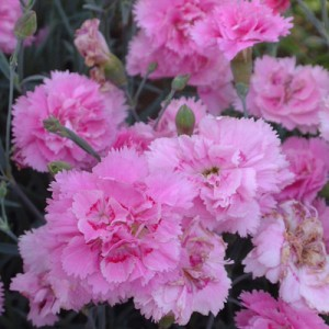 Dianthus 'Whatrfield Can Can'