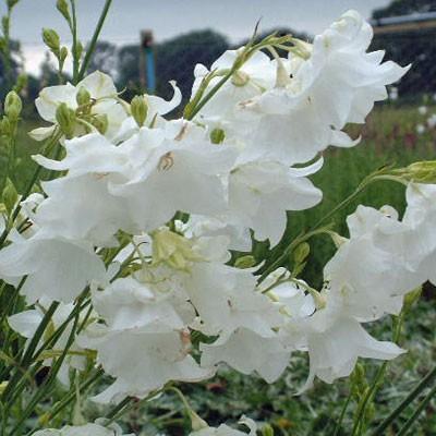 Campanula persicifolia 'Hampstead White'