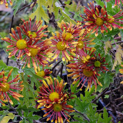 Chrysanthemum Burnt Orange Flowered Dorset Perennials