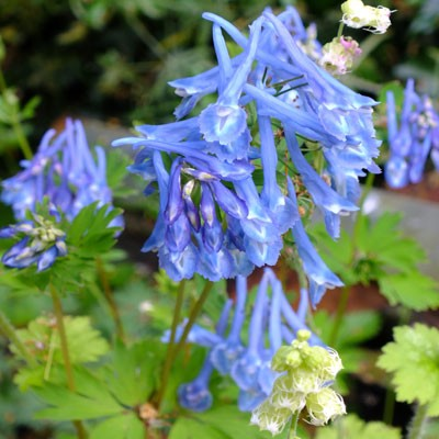 Corydalis 'Craighton Blue'