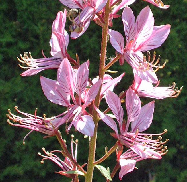 Dictamnus albus var. purpureus