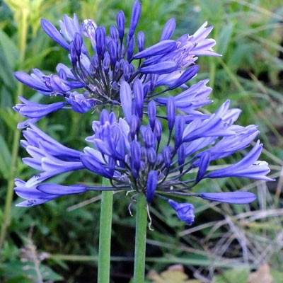 Agapanthus 'Midnight Star' = 'Navy Blue'