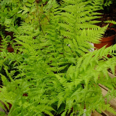 Athyrium filix-femina (female fern)