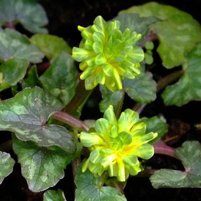 Ficaria verna 'Green Petal' (Ranunculus ficaria)
