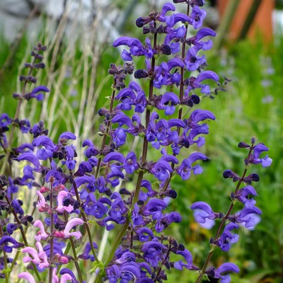 Salvia pratensis Twilight Serenade – pratensis Border Ballet series