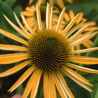 Echinacea 'Mellow Yellows'