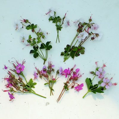 Geranium cantabrigiense flowers