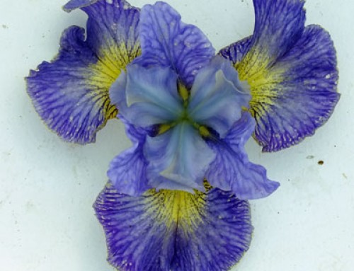 Iris – Botanical Style Photographs