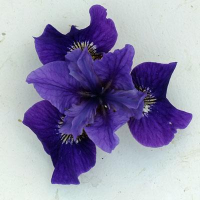 Iris 'Ruffled Velvet'