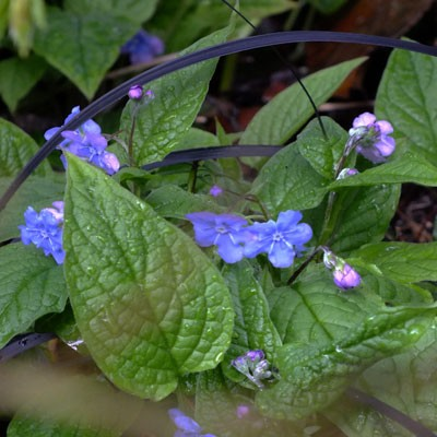 Omphalodes verna - Blue Eyed Mary
