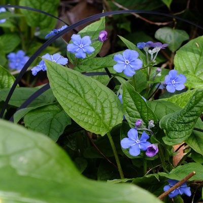 Omphalodes verna - Blue Eyed Mary