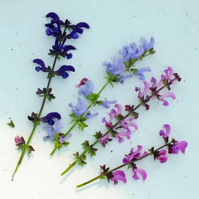 Salvia pratensis flowers